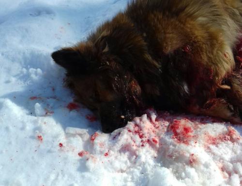 Житель пос. Таллалихино Чеховский район МО расстрелял 2 бездомных собак